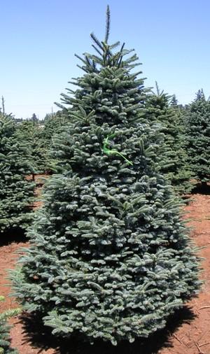 Wholesale Christmas Trees Oregon
